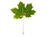 Grünes Herbstblatt