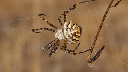 Araña argiope lobata