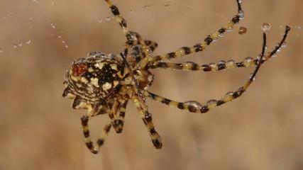 Argiope (araña)