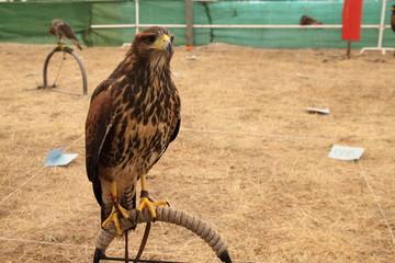 Harris, Águila de Harris, Parabuteo unicintus.