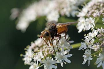 Fliege auf Doldenpflanze