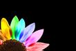Tournesol multicolore, fond noir