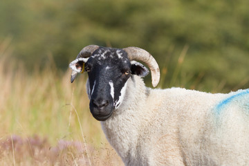 Blackface sheep on Longridge Fell, Lancaster