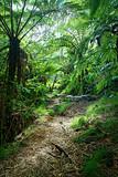 Fototapety Sentier en forêt tropicale humide - Réunion