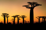 Sunset and baobabs trees - 36034356