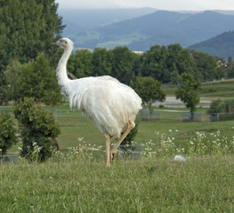Greater Rhea in natural back