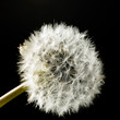 dandelion blowball in black back