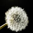 dandelion blowball in black back