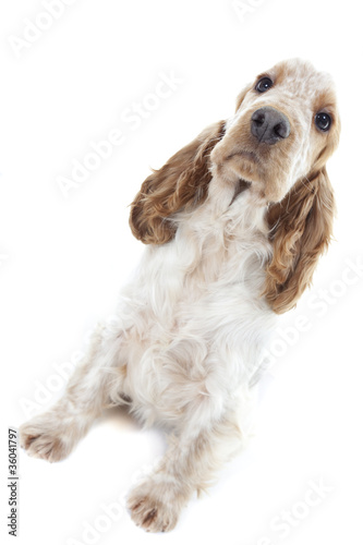 allure décidée du jeune cocker - english cocker spaniel