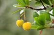 Früchte des Erdbeerbaums