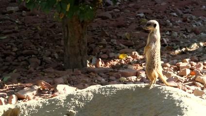 Sentinelle suricate