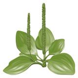 illustration of plantain poster