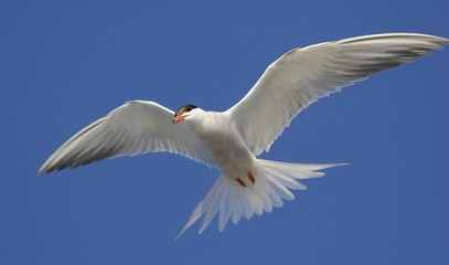 Common Tern (Sterna Hirundo)  in flight.