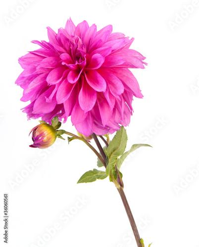 Foto op Canvas Dahlia dahlia flower