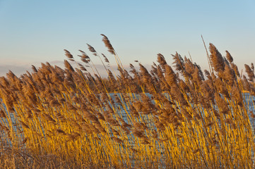 Closeup of waving reeds on the waterfront in the late afternoon