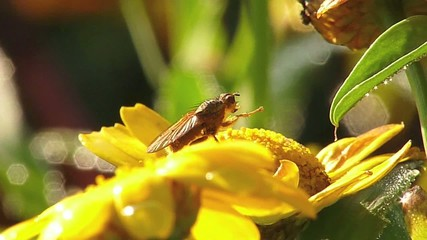 A fly on a yellow flower is washing himself