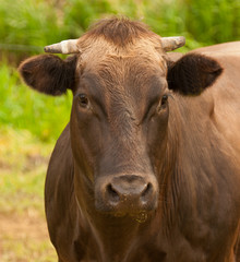 Portrait of a brown Dutch cow with horns