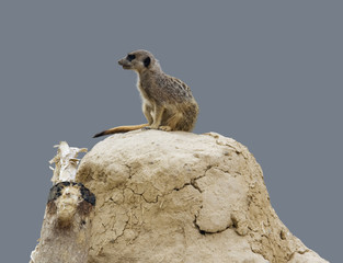 Meerkat on earth pile