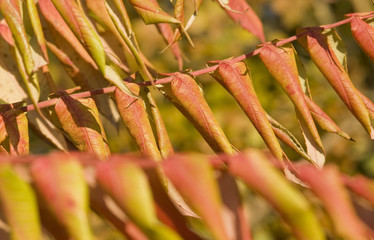 staghorn sumac leaves