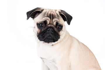 Pug dog isolated on white background