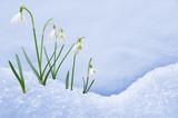 Fototapety Group of snowdrop flowers  growing in snow
