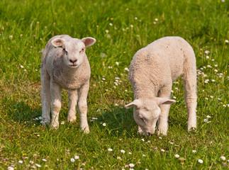 Two little lambs in a Dutch meadow