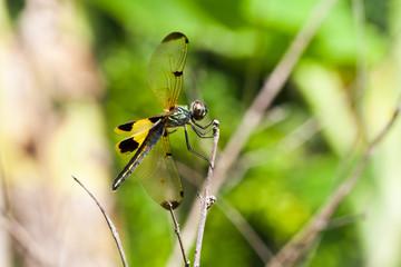 Dragonfly .