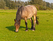 Grazing horse in a Dutch meadow