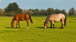 Two grazing horses in a Dutch meadow