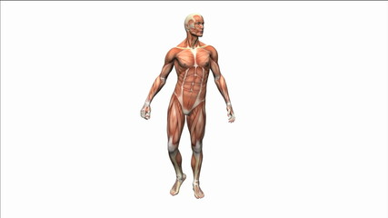 3d muscle man body