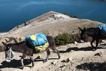 asini sul lago titicaca in bolivia