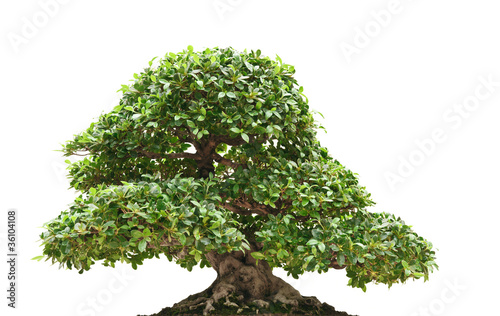 Foto op Canvas Bonsai Ficus bonsai