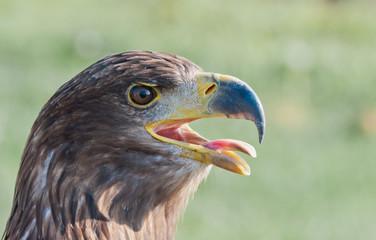 Common Buzzard shows its tongue