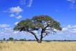 African Acacia tree, Zimbabwe