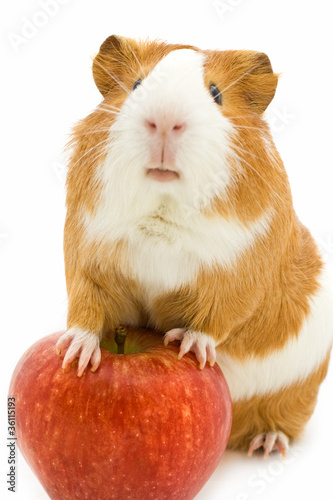 red and white guinea pig and red apple