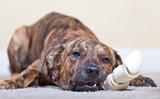 Brindled hound with a rawhide bone poster