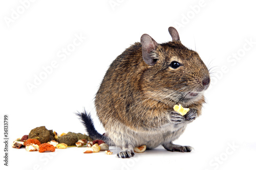 Degu hat Hunger