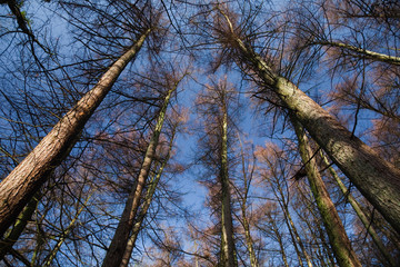 Pine Tree canopy & blue sky, Brock, Lancashire