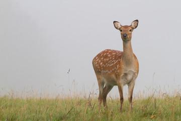 Fallow Deer doe looking, Studley Park, Yorkshire
