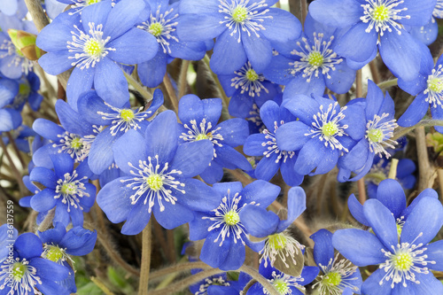 first blue  springs flowers background