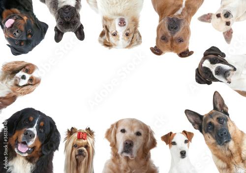 la grande variété des races canines