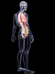 Skeleton X-Ray - Internal Organs