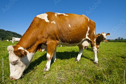 Aluminium Grazing Cows