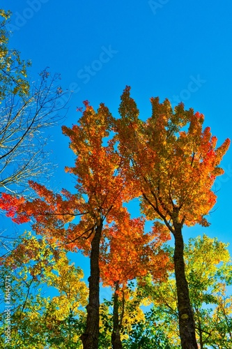 Sunlit maple trees in Pennsylvania