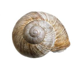 reclusive grapevine snail
