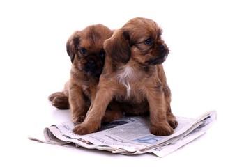zwei Welpen kuscheln bei Zeitung