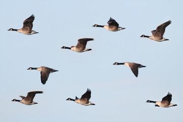 Canada Goose (Branta canadensis) In Flight