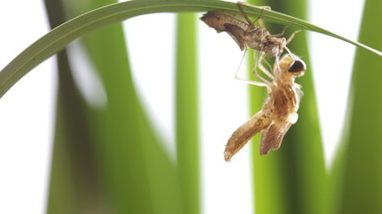 Birth of a dragonfly