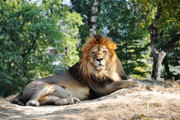 leone a riposo