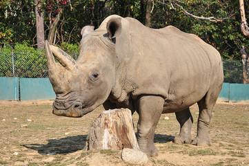 rinoceronte grigio
